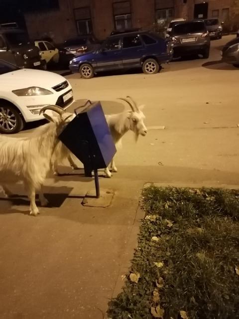 Две козы потрошат урны в Канавинском районе
