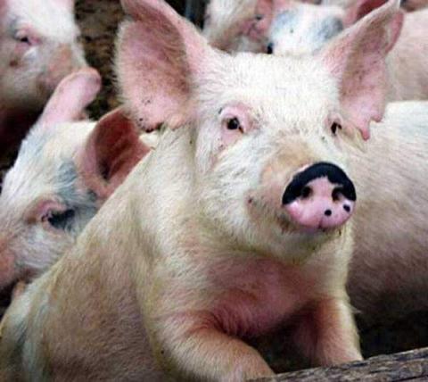 Два свиноводческих комплекса построят в Нижегородской области за 9,6 млрд рублей