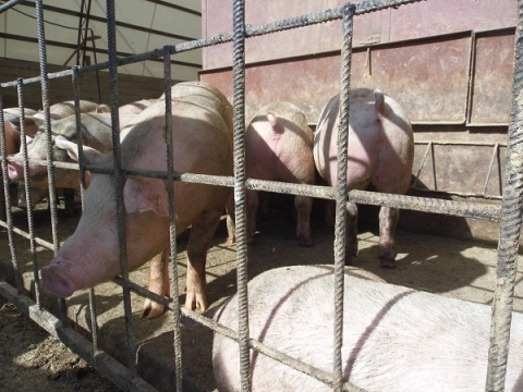 Дело завели на владелицу свиней из-за АЧС в Кстове