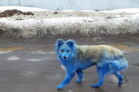 «Зоозащита НН» опровергла передачу синих собак из Дзержинска в США