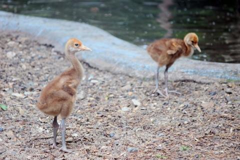 Японские журавли из нижегородского зоопарка впервые принесли потомство