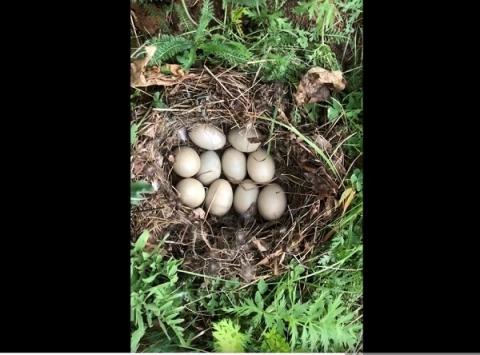 Утиное гнездо обнаружено на стройплощадке «Швейцарии» в Нижнем Новгороде