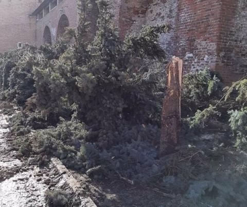 Многолетние ели начали вырубать в Нижегородском кремле