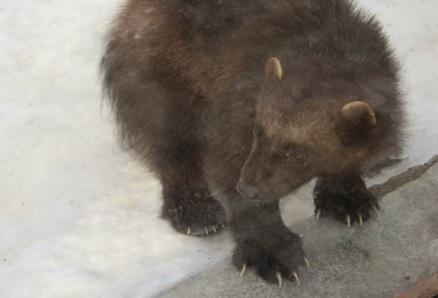 Медведь насмерть задрал пастуха в Воскресенском районе