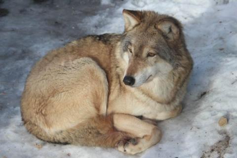 Убитая под Уренем стая волков держала в страхе местных жителей